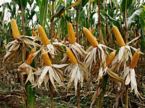 Furadan Alami hama dan penyakit budidaya jagung budidayaku