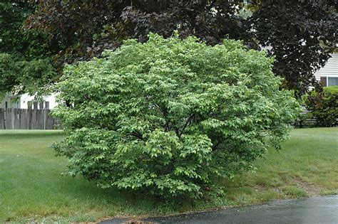 Home Garden Design Programs Compact Winged Burning Bush Euonymus Alatus Compactus