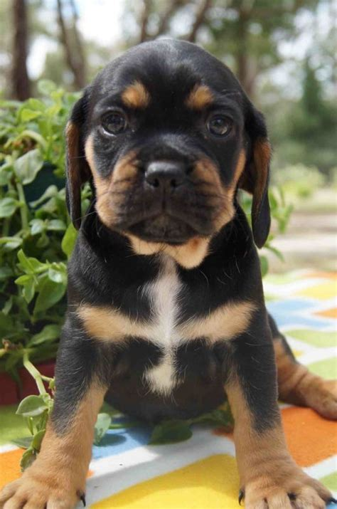 black  tan puggle puppy  dogs  puppies