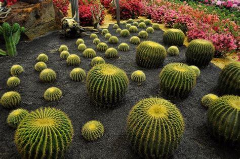 cuscino di suocera cuscino della suocera echinocactus grusonii piante