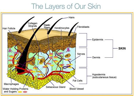 diagram of skin cell skin cell structure tutorvista
