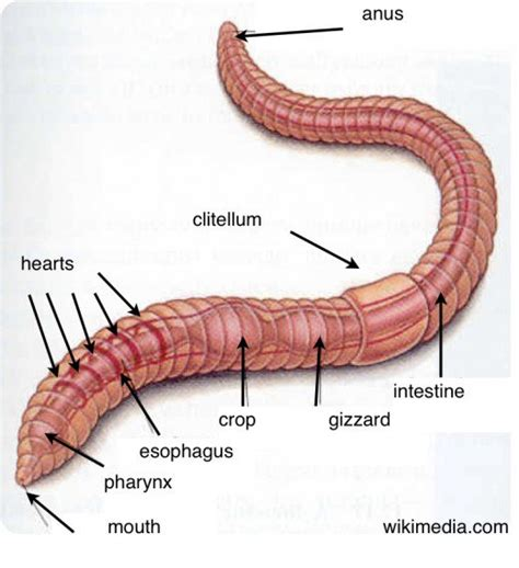 earthworm anatomy diagram earthworms activities to help learn about worms hubpages