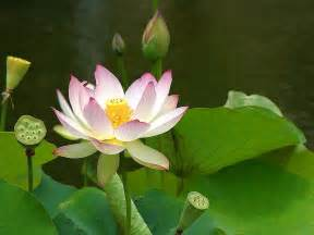Types Of Lotus File Lotus Flowers 1 Jpg Wikimedia Commons