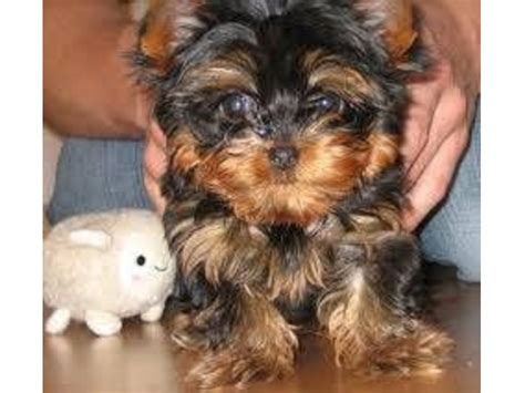 teacup yorkies for sale in kansas city i a few adorable teacup yorkies puppies animals kansas city kansas