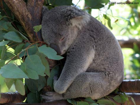 green koala wallpaper baby koala bear wallpaper free hd backgrounds images pictures