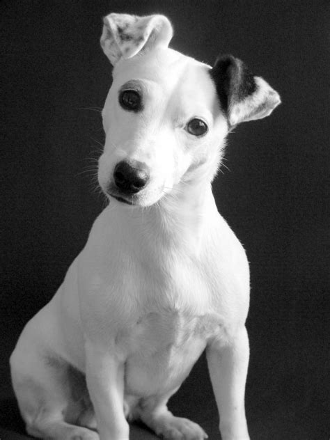 263 best Jack Russell Terriers!!! images on Pinterest