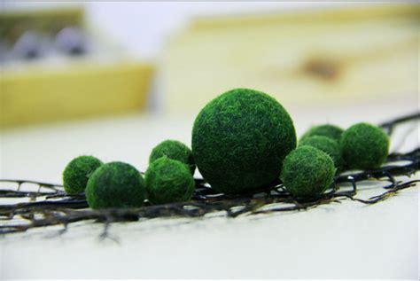 aliexpress com buy 1 japanese marimo moss ball live