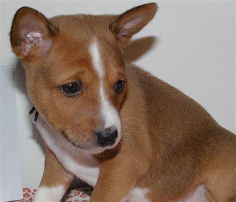 basenji puppy cost beautiful and white basenji puppy image png