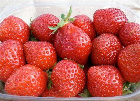 piantare le fragole in vaso quando piantare le fragole piante da frutto