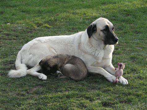 anatolian dogs shepherd puppies anatolian shepherd breeders anatolian shepherds breeds picture