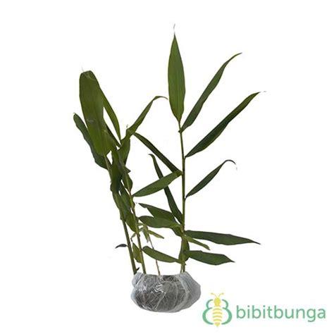 tanaman gondosuli