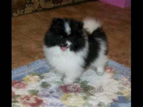 black and white pomeranian for sale parti pomeranian puppy for sale