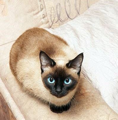 gatti divani evitare i graffi dei gatti ai divani i consigli di