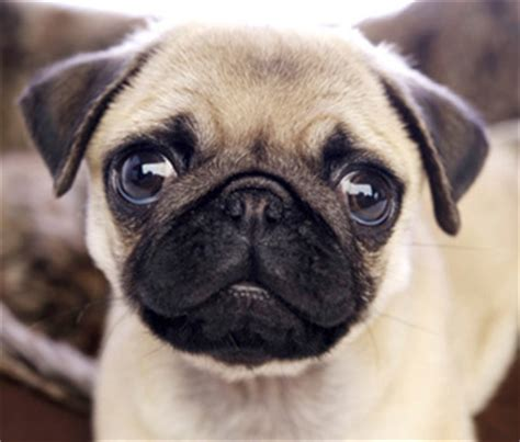 how to care for a pug puppy is a pug the right breed for you