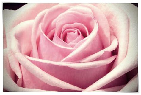 imagenes de rosas negras para whatsapp imagenes de rosas negras para whatsapp dibujo imagenes