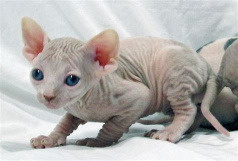 sphynx cats for sale the 25 best sphynx kittens for sale ideas on pinterest