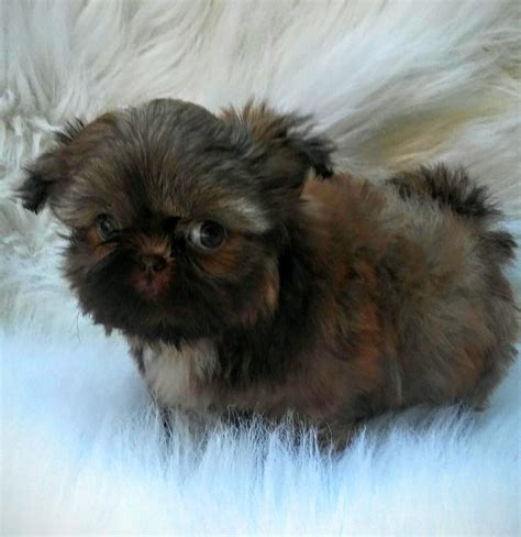 ohio shih tzu breeders shih tzu puppy for sale puppies club puppies for sale
