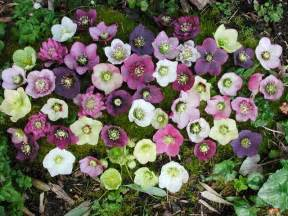 Winter Flowers For The Garden How To Grow Hellebores From Seed The Garden Of Eaden