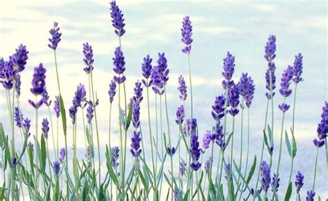 fresh lavender herbs for memory and concentration smile herb