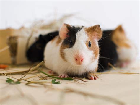 wann sind kater geschlechtsreif wann sind meerschweinchen ausgewachsen