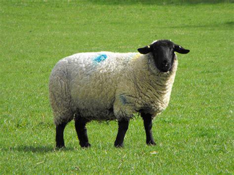 Bisnis Penggemukan Domba inilah bisnis investasi terpercaya kemitraan pembibitan