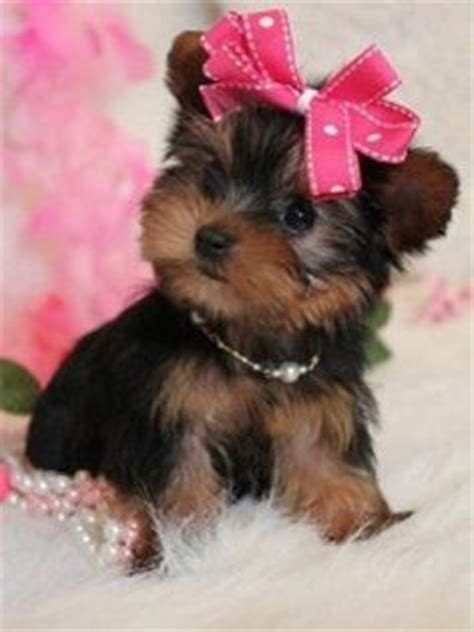 teacup yorkie bows 1000 images about yorkies on teacup yorkie yorkie and promotion