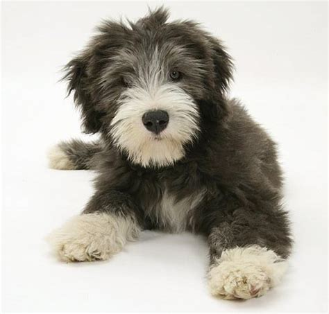 bearded collie puppy collie puppies photograph bearded collie puppy pictures
