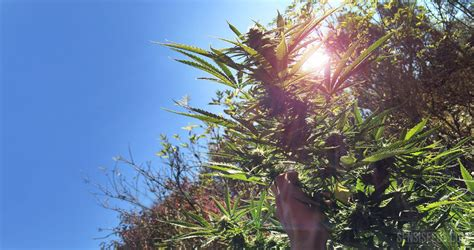 wann erntet cannabis wie cannabispflanzen richtig erntet sensi seeds