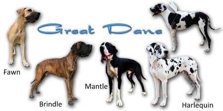 colors of great danes the great dane breed expert