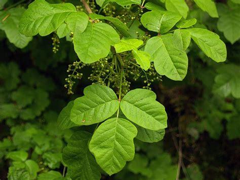 images of poison oak storrux poison oak plant pictures