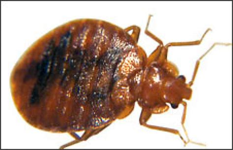 bed bugs seattle bed bugs on the rise even in fancy hotels seattlepi com