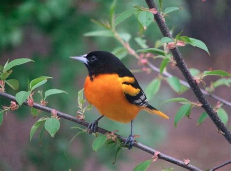 picture of a oriole bird orchard oriole 187 bird watcher s digest