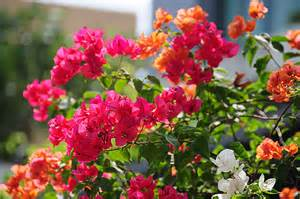 How To Take Care Of Roses In A Vase About Bougainvillea Flower Typesofflower Com