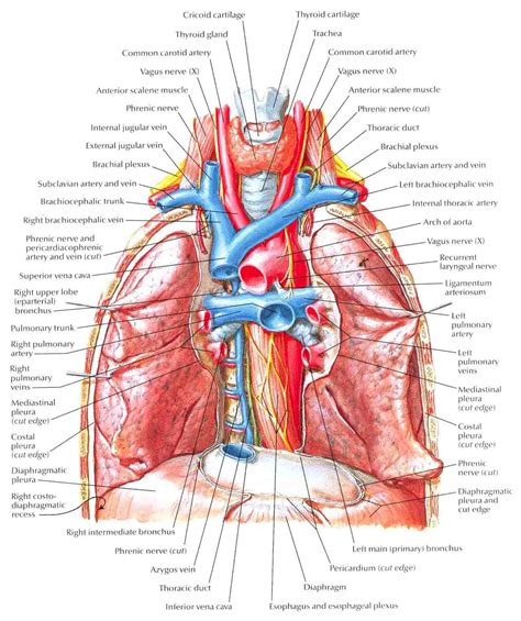 what color are arteries bronchi with pulmonary arteries and veins in situ