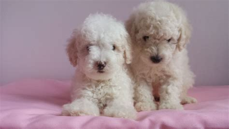 mini poodle for sale miniature poodle puppy for sale altrincham greater