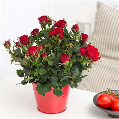 forever roses roses forever 174 roses forever