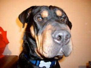 rottweiler rescue san diego rottweiler mix and just on