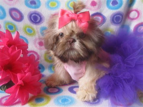 shih tzu puppies for sale in mobile al shih tzu alabama breeder of and shih tzu puppies