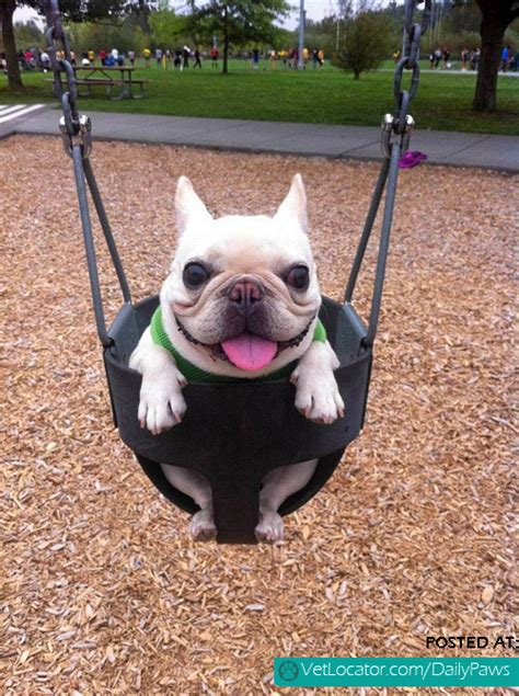 happy pug daily paws picture of the day happy pug in swing daily paws daily paws