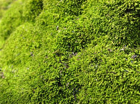 mossy green green moss texture free stock photo public domain pictures