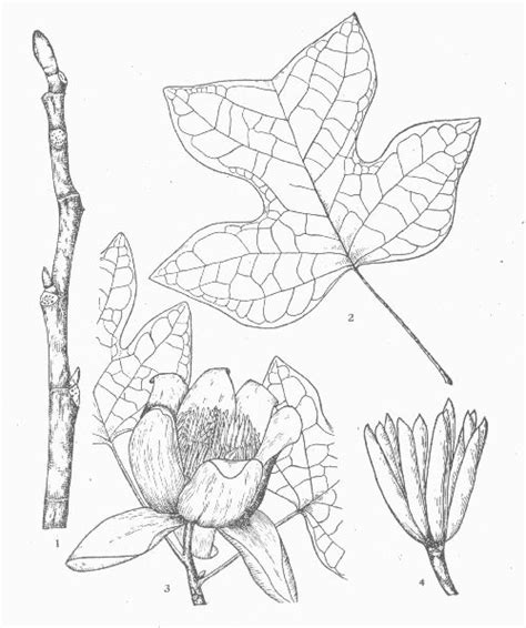tulip leaf coloring page free coloring pages of tulip poplar tree