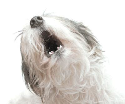 dogs that howl why do dogs howl the guardian newspaper