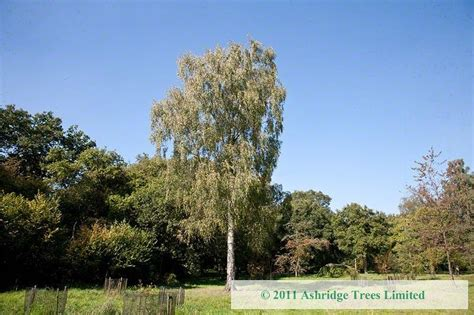 silver birch trees buy  ashridge nurseries
