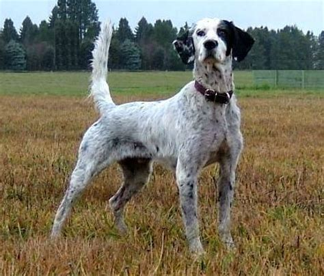 english setter pointer dog breeds english setter history personality appearance health