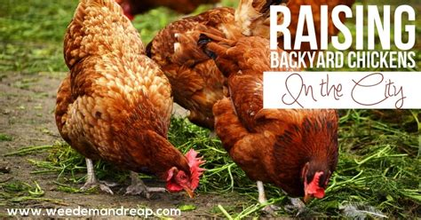 Backyard Chicken Laws by Raising Backyard Chickens In The City Em Reap