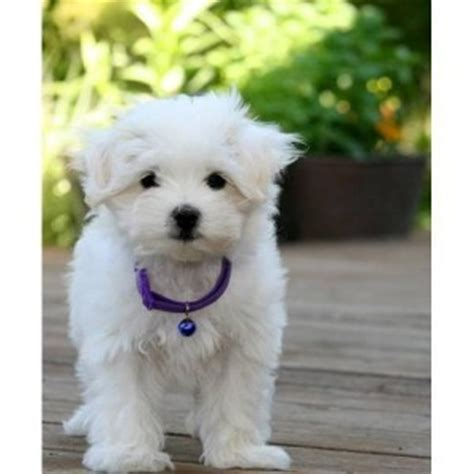 puppies for adoption maine pets maine free classified ads