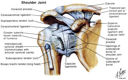 shoulder diagram houston shoulder doctors surgeons orthopedic shoulder