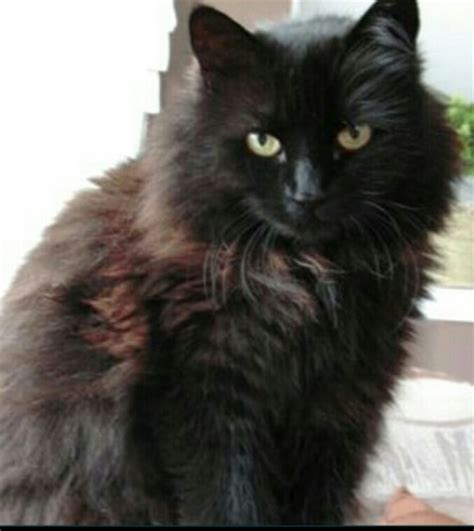 Black long haired fluffy cat   Munster Lost and Found Pet