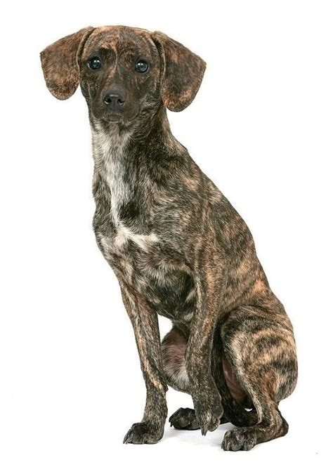 treeing tennessee brindle puppy tennessee treeing brindle wallpapers hd