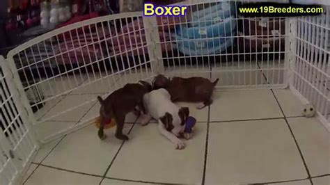 boxer puppies dogs  sale  chicago illinois il